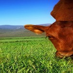 cropped-dwalsh-cow-eat-grass.jpg